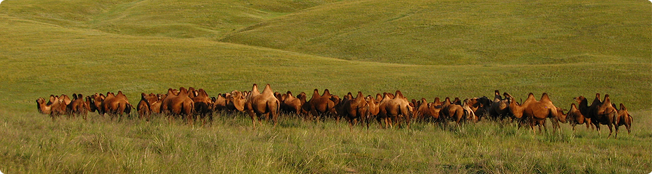 Camels, Mongolia 2010